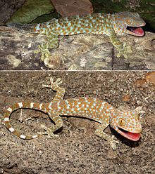 220px-Tokay_gecko_(Gekko_gecko)_adult_male_and_juvenile